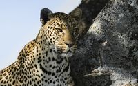 Leopard gazing wallpaper 1920x1200 jpg