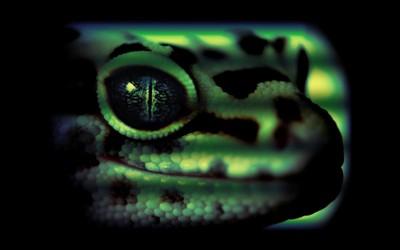 Leopard gecko wallpaper