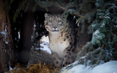 Leopard hiding under a pine tree wallpaper