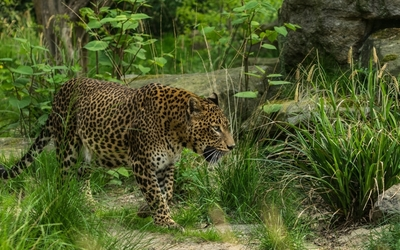 Leopard in a dense forest wallpaper