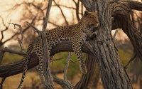 Leopard in a tree wallpaper 1920x1200 jpg