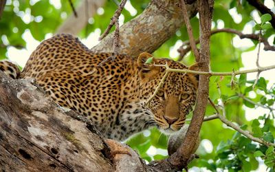 Leopard in a tree [3] wallpaper