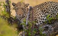 Leopard in the tree wallpaper 1920x1200 jpg