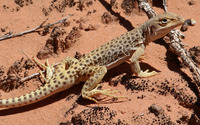 Leopard Lizard wallpaper 1920x1200 jpg