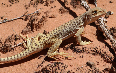 Leopard Lizard wallpaper