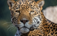 Leopard looking in the camera wallpaper 1920x1200 jpg