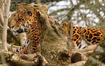 Leopard lying on branches wallpaper