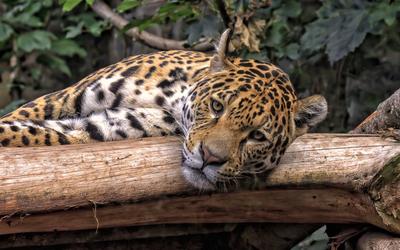 Leopard on a branch [2] wallpaper