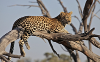 Leopard on a branch wallpaper 1920x1200 jpg