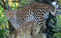 Leopard on a log wallpaper 2560x1600 jpg