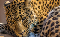 Leopard on a rock close-up wallpaper 1920x1200 jpg