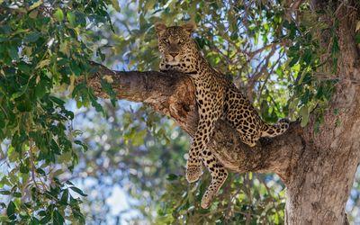 Leopard on a tree wallpaper