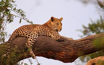 Leopard on a tree branch wallpaper