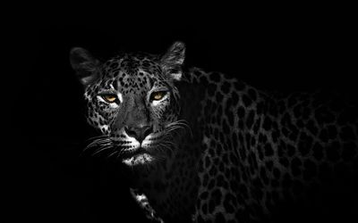 Leopard reaching from the darkness wallpaper
