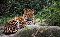 Leopard resting [2] wallpaper 2560x1440 jpg