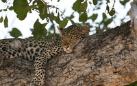 Leopard resting on a tree branch wallpaper 1920x1200 jpg