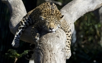 Leopard sleeping in a tree wallpaper 2560x1600 jpg