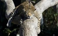 Leopard sleeping in a tree wallpaper 2560x1600 jpg