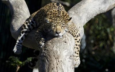 Leopard sleeping in a tree wallpaper
