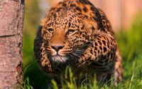 Leopard sneaking from behind the tree wallpaper 2560x1440 jpg