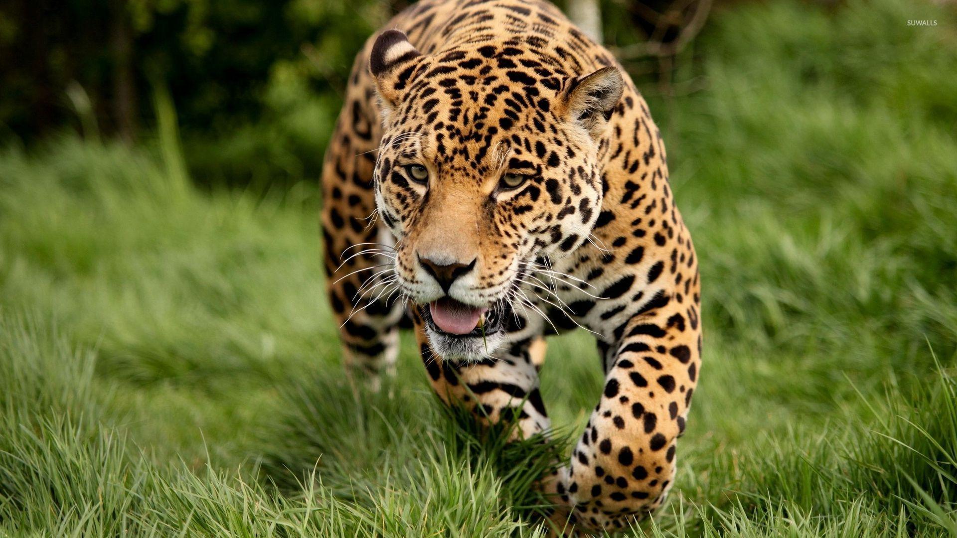 Cheetah Photos Animals Hd Wallpapers Free Download: Leopard Sneaking Through The Green Grass Wallpaper