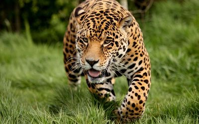 Leopard sneaking through the green grass wallpaper