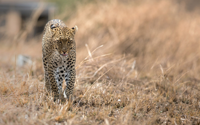 Leopard walking wallpaper