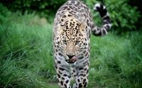 Leopard walking in the grass wallpaper 1920x1200 jpg