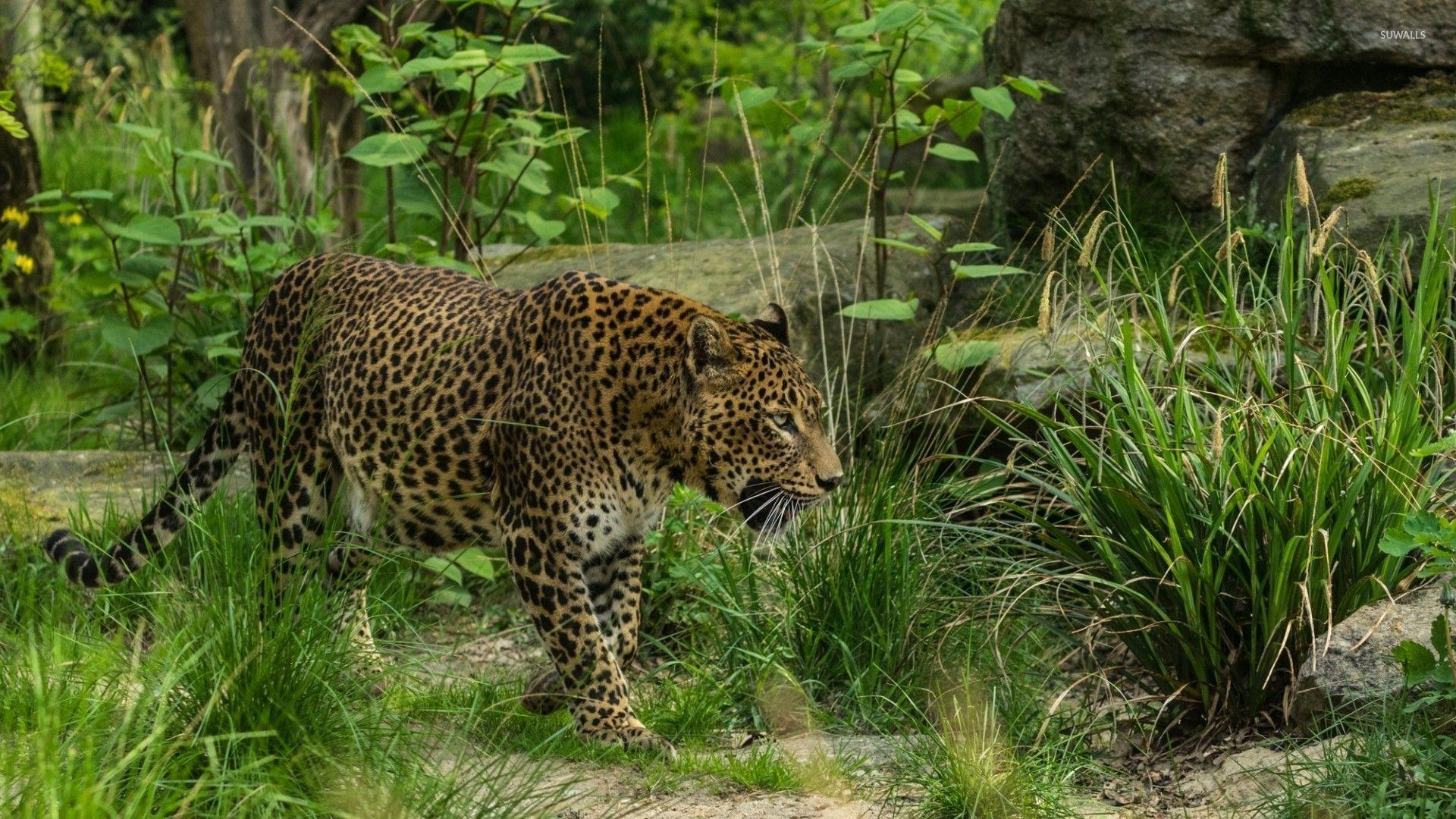 леопард пасть хищник лес без регистрации