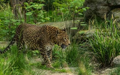 Leopard walking in the tall grass wallpaper