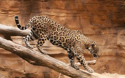 Leopard walking on the log wallpaper