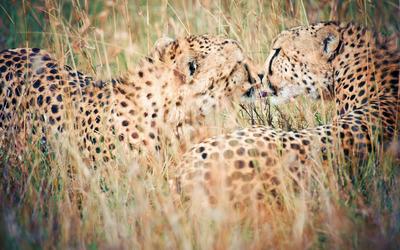 Leopards wallpaper