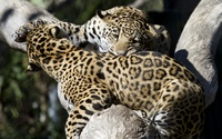 Leopards playing wallpaper 2560x1600 jpg