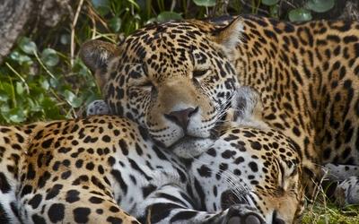 Leopards sleeping wallpaper
