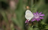 Leptidea butterfly on a knapweed blossom wallpaper 3840x2160 jpg
