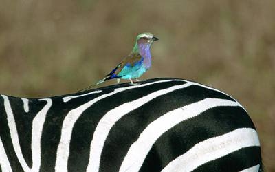 Lilac Breasted Roller on a Zebra wallpaper