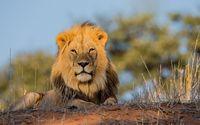 Lion [6] wallpaper 2560x1600 jpg