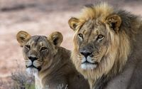 Lion and lioness resting wallpaper 2560x1600 jpg