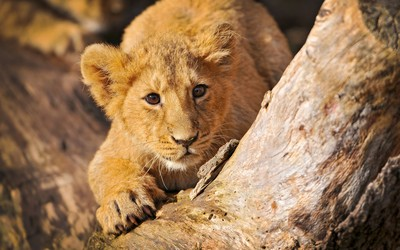Lion cub Wallpaper