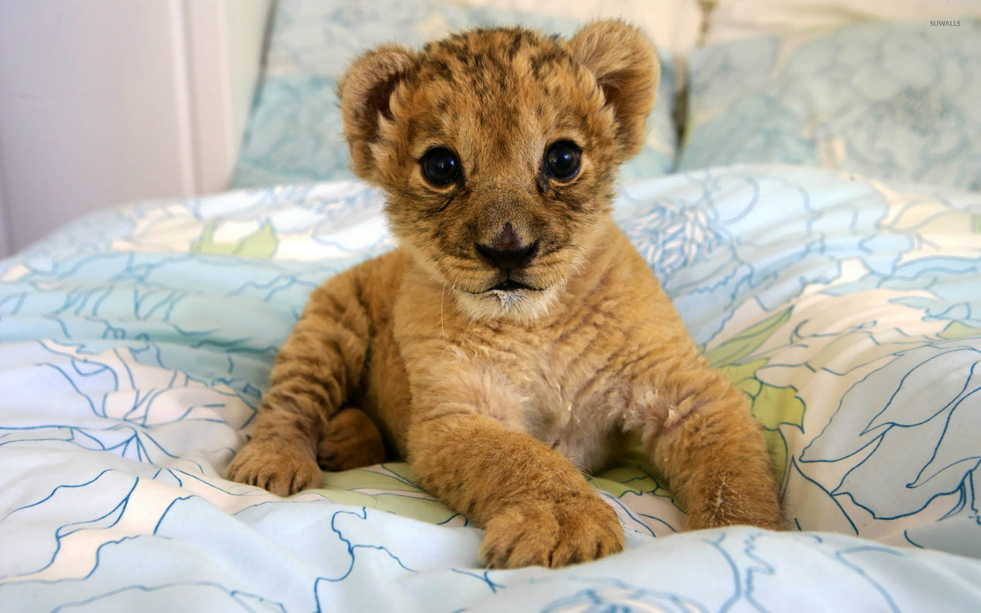 Lion cub [2] wallpaper - Animal wallpapers - #19836