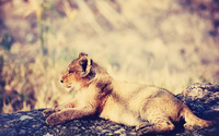 Lion cub [3] wallpaper 1920x1200 jpg