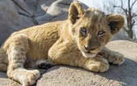 Lion cub [4] wallpaper 2560x1600 jpg