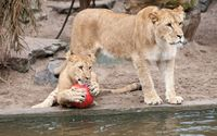 Lion cub holding a ball wallpaper 1920x1200 jpg