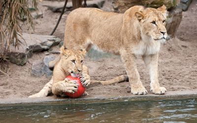 Lion cub holding a ball wallpaper