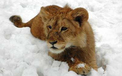 Lion cub in the snow wallpaper