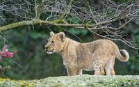 Lion cub looking at something wallpaper 2560x1600 jpg