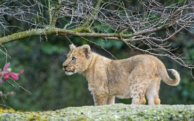 Lion cub looking at something wallpaper
