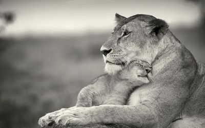 Lion cub loving his mother wallpaper