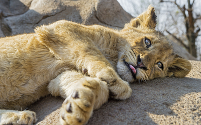 Lion cub resting on a rock Wallpaper
