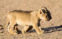 Lion cubs wallpaper 1920x1080 jpg
